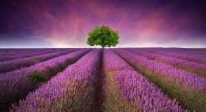 Purple Heaven--Lavender Fields at Sunset
