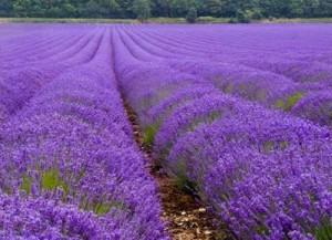 lavender_fields_09